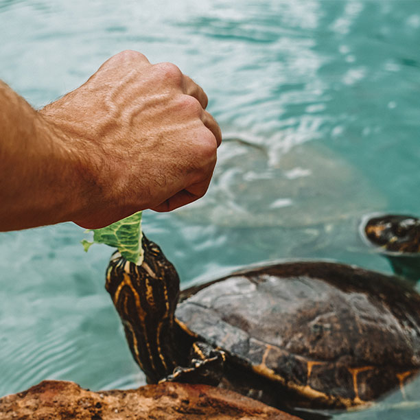 About-Us-Feeding-Turtle